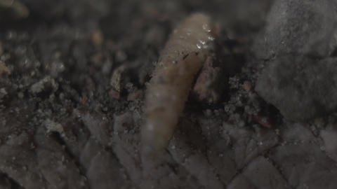 Close-up of the maggot lying on the sandy ground. Abomination, disgust, ugliness Footage