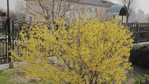 Forsythia bushes blossomed yellow flowers. Sunny spring day, the bush began to Live Action