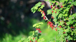 Red currant bush branch berries in garden shaking moving in wind Footage