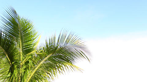 Green palms waving in the wind, isolated Live Action