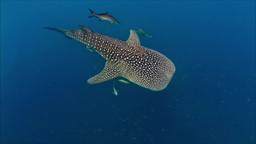 Whaleshark topshot Footage