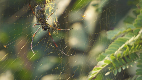 Golden silk orb-weaver crawling at her web. beautiful light. little spider crawling nearby Footage