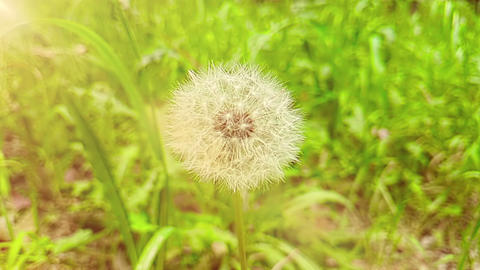 softly white flower dandelion on the green grass background, with warm sunlight, concept of spring Footage