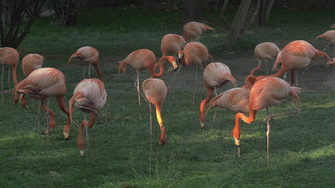 Group of flamingos eating Live Action