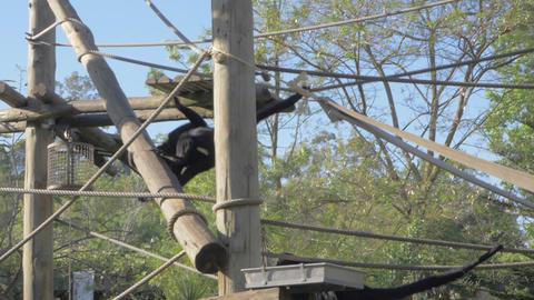 Agile black spider monkeys in Lisbon Zoo, Portugal Live Action