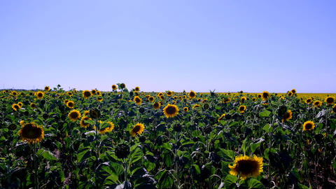 large farm field with yellow blooming sunflowers on a summer day Acción en vivo