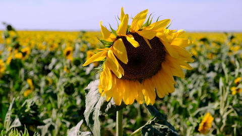 blooming yellow sunflower on a large agricultural field on a summer day Acción en vivo