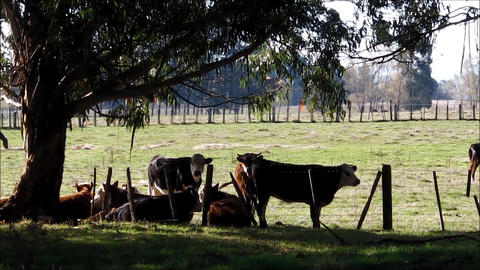 Cattle at rest in evening light Footage