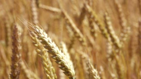 Close up of an ear of golden wheat swaying in the wind Footage