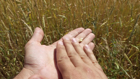 Man's Hand peeling an ear of golden wheat Footage