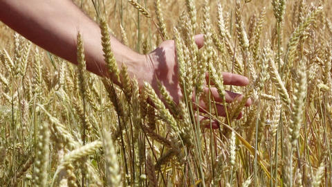 man's Hand Running Through Wheat Field Footage