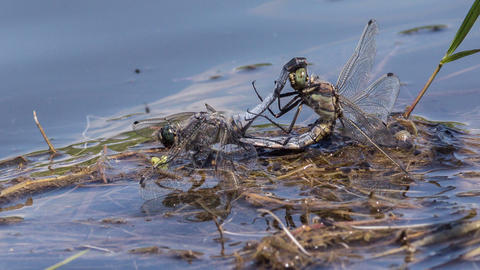 Dragonflies Footage