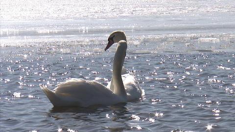 山中湖 冬 白鳥11 Footage