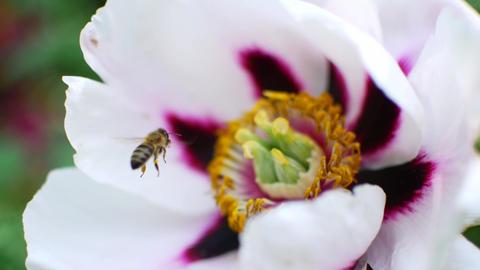 Bee pollinates white flowers. Honey harvest season Footage