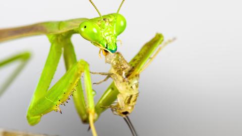 Praying Mantis feeding on a Cricket Live Action
