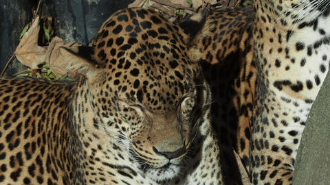 Two sleeping leopards (Panthera pardus) Footage