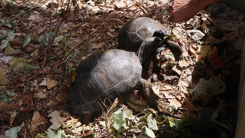 Two 4 years old giant tortoises at Curieuse Island, Seychelles Live Action