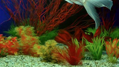 Slow Motion Of Goldfish Swimming In Aquarium Footage