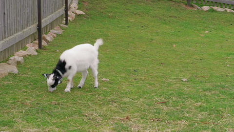 Young goat grazing near fence on eco-friendly farm, goatling Live Action