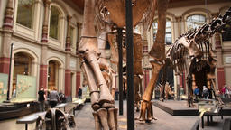 Brachiosaurus, diplodocus and apatosaurus (brontosaurus) on exhibition in Berlin natural history Footage