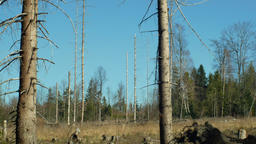 Spruce forests infested and attacked by the European spruce bark beetle pest Ips Footage