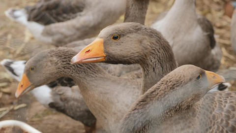 Domestic geese on a farm closeup Footage