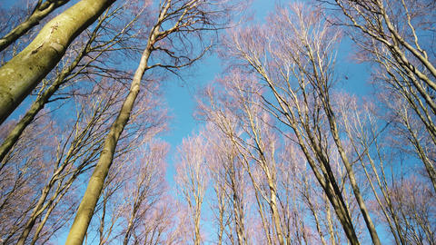 Bottom view in the forest. Trees seen from bottom to top on a spring day Footage
