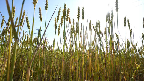 In between wheat with sun glare GIF