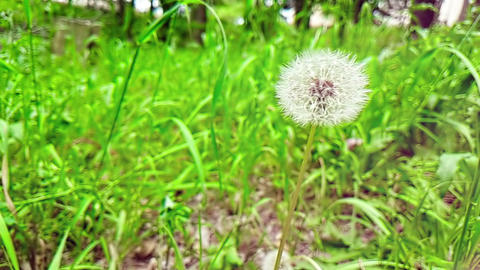 softly white flower dandelion on the green grass background, concept of spring is coming, slow Footage