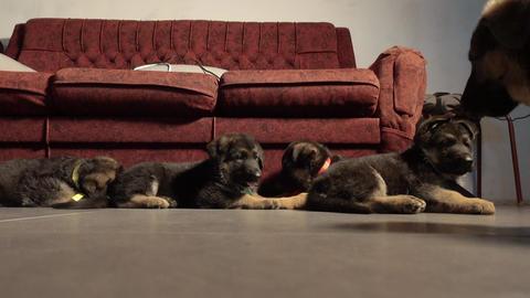 Five German shepherd puppies, four puppies lying Footage