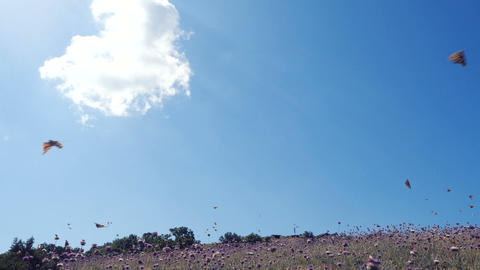 Lots of butterflies in SLOW MOTION over a field against beautiful blue sky Live Action