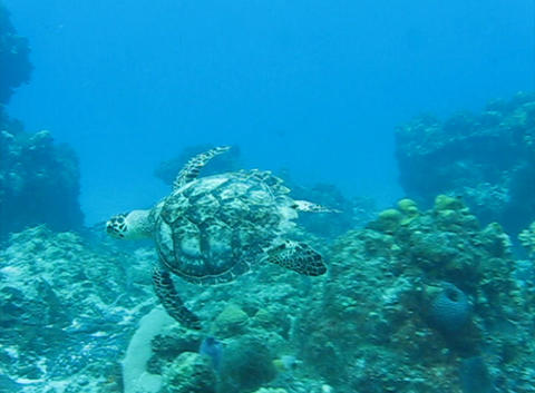 Turtle in the Caribbean sea Footage