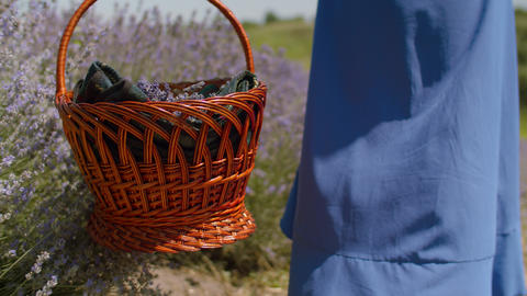 Woman with picnic basket walking in lavender field Footage