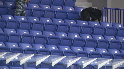 police dog sniffs the stadium stands Live Action