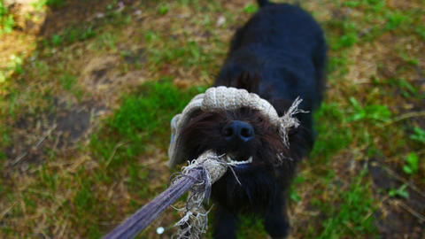 Black dog played with rope, first person view Footage