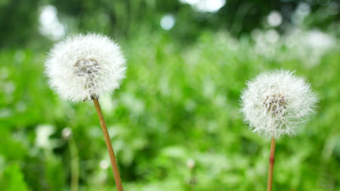 Bloomed dandelion in nature grows from green grass Footage