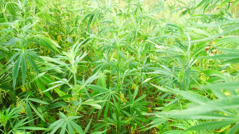 Wild green bushes of young cannabis marijuana, sprouted in the wild corners of Live Action
