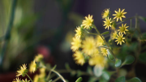 Cheery small and tender flowers growing indoors Footage