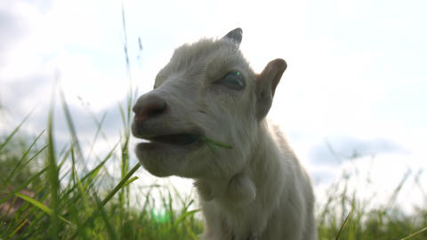 Pretty white goatie grazing grass in a green meadow in summer in slo-mo Live Action