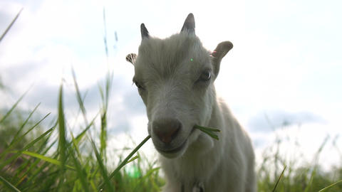 Cute white goatie looking and eating grass in a green lawn in slo-mo Live Action