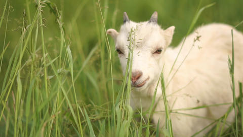 Fluffy white goatie enjoying life in a green pasture in summer in slo-mo Footage