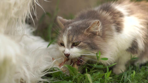 Lovely grey and white cat eating green grass in a yard in summer in slo-mo Live Action