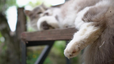 Lovely grey and white cat lying on a wooden bench in a yard in slow motion Footage