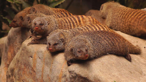 Mongooses Footage