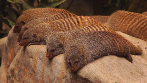 Mongooses Stock Video Footage