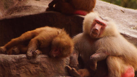 Monkeys Stock Video Footage