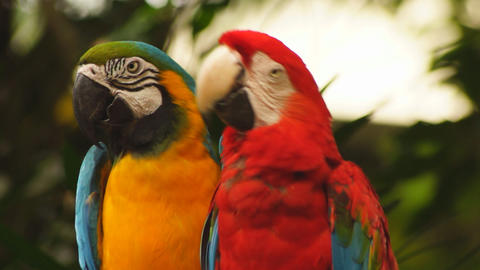 Macaw parrots Stock Video Footage
