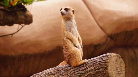 Meerkat Stock Video Footage