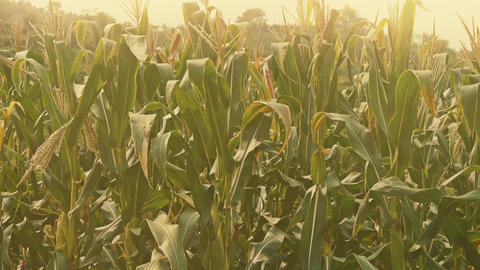 lush corn leaves in agriculture farmland in rural areas Footage