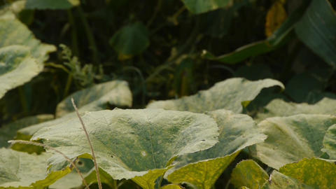 lush corn leaves & loofah flower in agriculture... Stock Video Footage